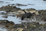 A bird covered in oil flaps its wings at Refugio State Beach on Thursday. More than 7,700 gallons of oil have been raked, skimmed and vacuumed from a spill that stretched across 9 miles of California coast, just a fraction of the sticky, stinking goo that escaped from a broken pipeline, officials said. (Jae C. Hong/AP)