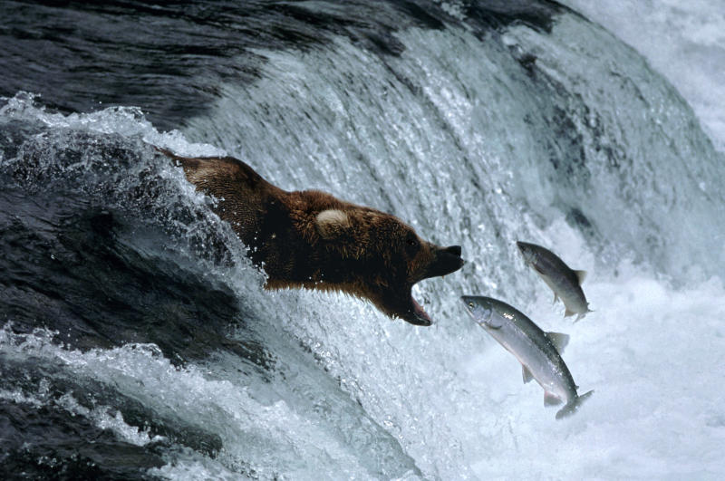 Brown bear having sockeye salmon dinner, AK
