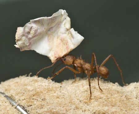 A South American leaf cutter ant is seen in this undated handout photograph released in London August 8, 2014. REUTERS/Andrew Davis/John Innes Centre/Handout via Reuters