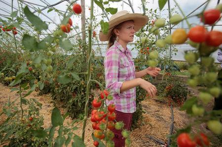 Amanda Sweetman, project manager, The Farm, shows the tomato hoop house across from Saint Joseph Mercy hospital in Ypsilanti, Michigan, U.S., August 23, 2017. Picture taken August 23, 2017. REUTERS/Rebecca Cook