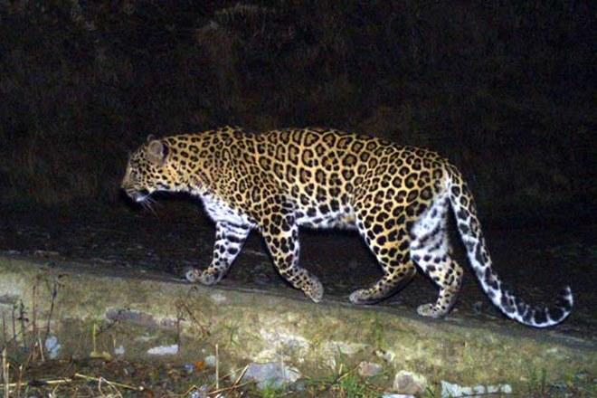 leopard animal, leopard animal, leopard attack, leopard attack video, leopard attack human, leopard attack mumbai, leopard attack, maharashtra, bhandara district, woman attacked, wildlife, indian express