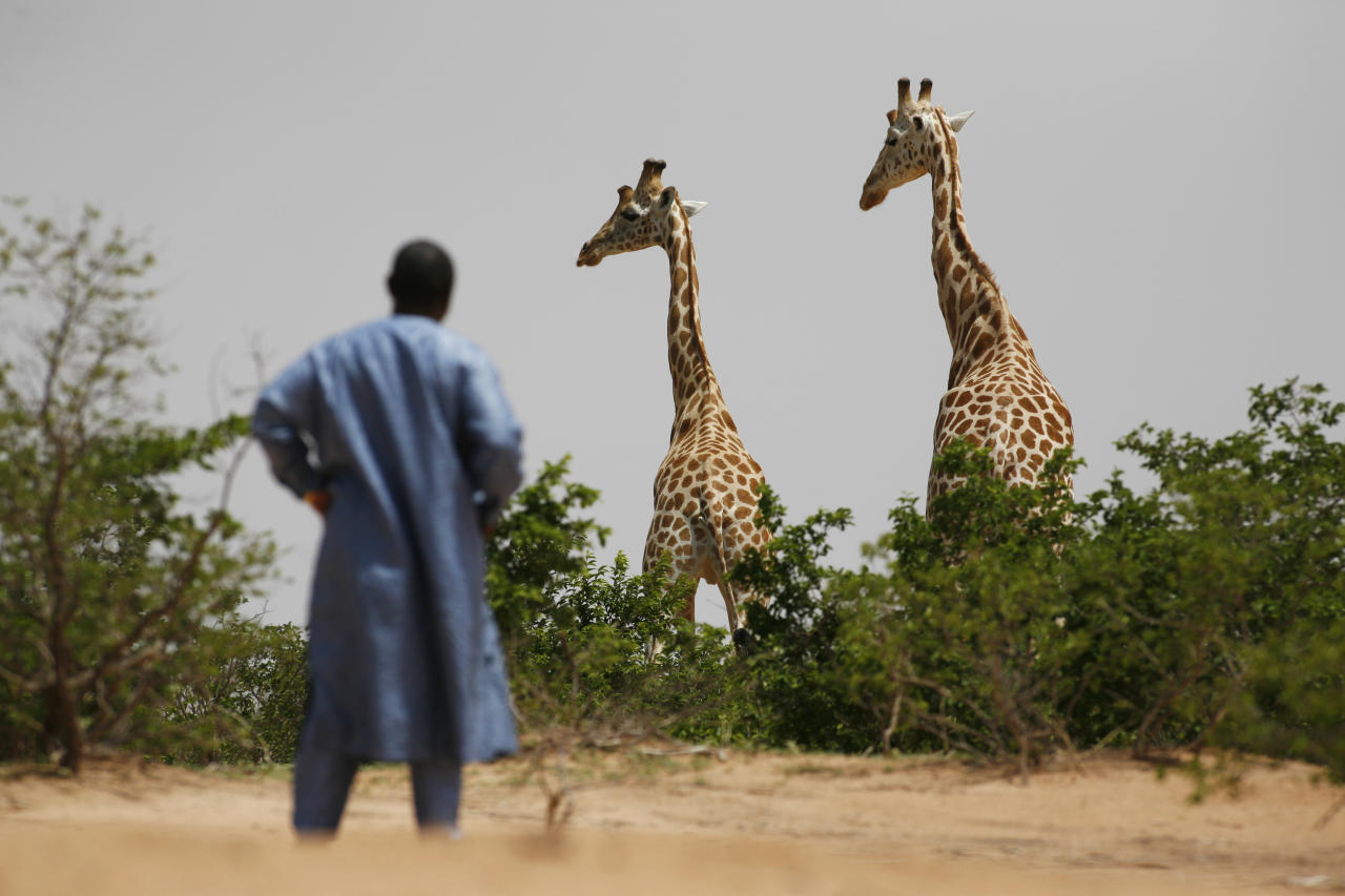 In this Aug. 1, 2009 photo, a visitor from the capital, Niamey, watches a pair of giraffes from Africa's most endangered giraffe subspecies, in the bush near Koure, Niger. By all accounts, they should be extinct. Instead, their numbers have quadrupled to 200 since 1996, an unlikely boon experts credit to the concurrence of an impoverished government keen for revenue that has enacted laws to protected them, a conservation program that encourages people to support them, and a rare harmony with humans who have accepted their presence. (AP Photo/Rebecca Blackwell)