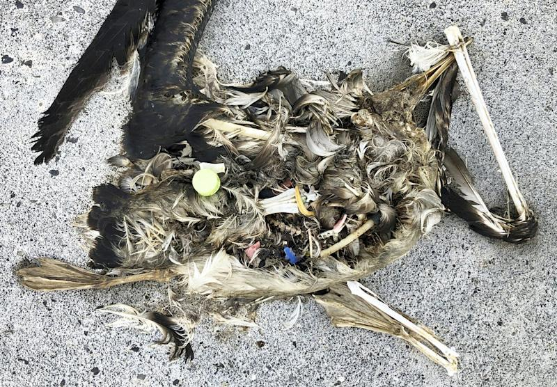 Pictured is a dead bird with plastic in its stomach. Source: AP/Caleb Jones