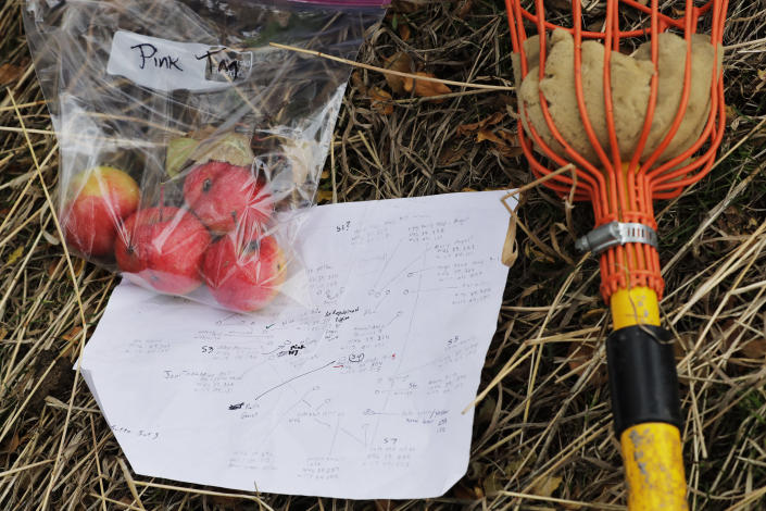 In this Oct. 28, 2019, photo, apples collected by amateur botanist David Benscoter, of the Lost Apple Project, rest next to his field notes and an apple picking pole in an orchard at a remote homestead near Pullman, Wash. Benscoter and fellow amateur botanist EJ Brandt recently learned that their work in the fall of 2019 has led to the rediscovery of 10 apple varieties in the Pacific Northwest that were planted by long-ago pioneers and had been thought extinct. (AP Photo/Ted S. Warren)