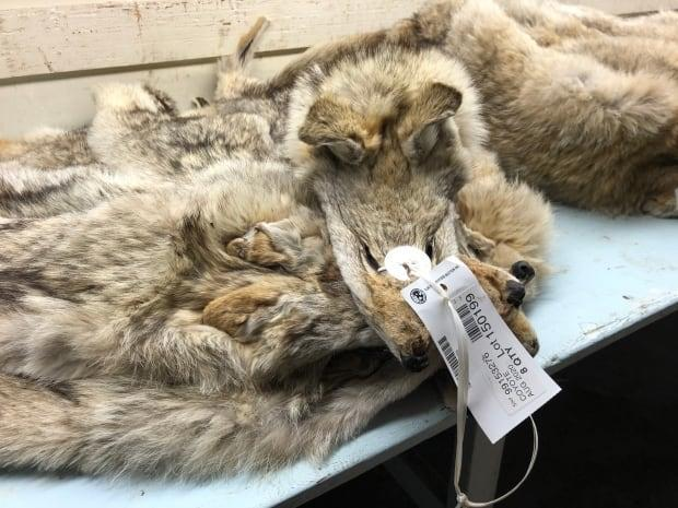 Despite a decision by Canada Goose to no longer use coyote fur on its upscale parkas, the Fur Harvesters Auction in North Bay, Ont., says it had a successful year selling inventory online to global consumers. (Tracy Fuller/CBC - image credit)