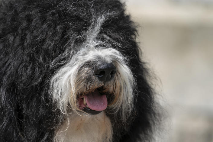 A barbet is presented for journalists during a news conference, Tuesday, June 8, 2021, in Tarrytown, N.Y., at the Lyndhurst Estate where the 145th Annual Westminster Kennel Club Dog Show will be held outdoors, (AP Photo/John Minchillo)