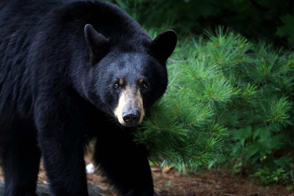 Experts say many bear attacks on humans begin with confrontations with dogs. (Photo: mlorenzphotography via Getty Images)