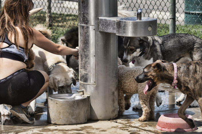 A dog walker gives water from a fountain to her pack of dogs at the Sepulveda Basin Dog park in the Van Nuys section of Los Angeles on Thursday, June 17, 2021. Temperatures in the 80s and 90s were expected up and down the state, with triple-digit highs forecast in deserts, some mountains, non-coastal valley and interior areas. (AP Photo/Richard Vogel)