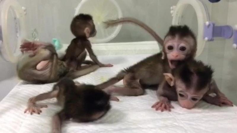 Chinese scientists clone five baby monkeys after editing genes to induce mental illness