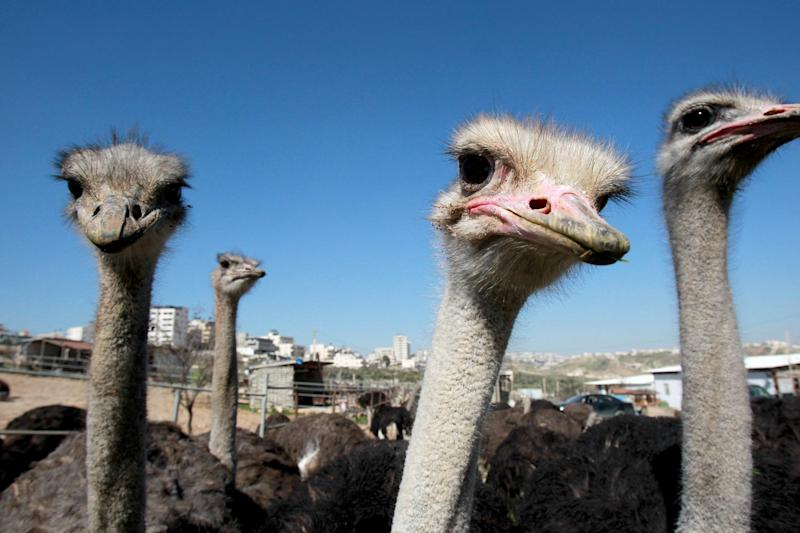 Ostriches have been farmed for meat for the last three years near the West Bank city of Bethlehem in a project unique in the Palestinian Territories (AFP Photo/Musa Al-Shaer)
