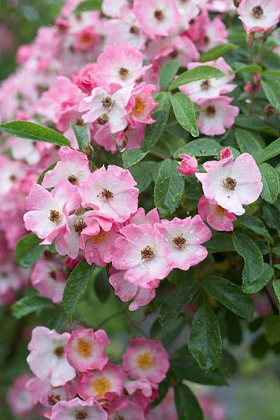 """<p>Shrub roses, also called landscape roses, are hardy and beautiful summer bloomers. They come in every color of the rainbow, too, and bloom reliably until first frost! Needs full sun. </p><p>Varieties to try: Oso Easy Italian Ice, Coral Drift</p><p><a class=""""link rapid-noclick-resp"""" href=""""https://go.redirectingat.com?id=74968X1596630&url=https%3A%2F%2Fwww.homedepot.com%2Fp%2FPROVEN-WINNERS-4-5-in-Qt-Oso-Easy-Italian-Ice-Landscape-Rose-Rosa-Live-Shrub-Orange-Pink-and-Yellow-Flowers-ROSPRC1087800%2F205301815&sref=https%3A%2F%2Fwww.housebeautiful.com%2Fentertaining%2Fflower-arrangements%2Fg2411%2Fpopular-flowers-summer%2F"""" rel=""""nofollow noopener"""" target=""""_blank"""" data-ylk=""""slk:SHOP NOW"""">SHOP NOW</a> </p>"""