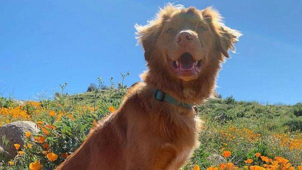 PHOTO: Milo, a Nova Scotia Duck Tolling Retriever from Burbank, California, is warming the hearts of many online with his love for monarch butterflies and flowers. (Jenn Bennett)