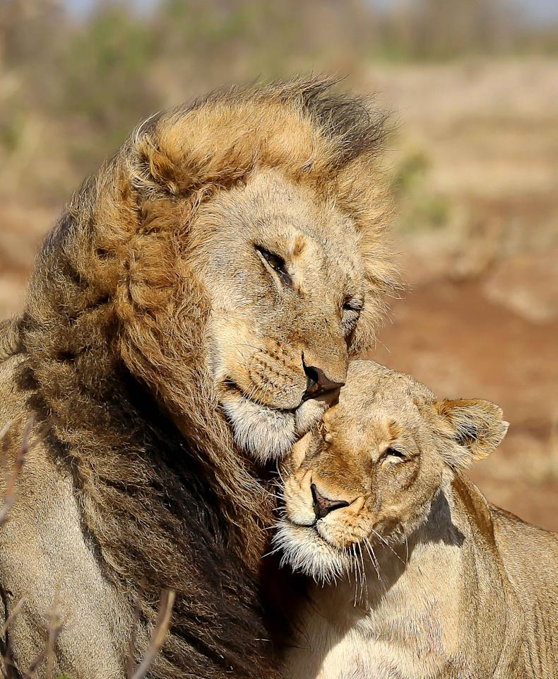 <p>Two lions cuddle at Kruger National Park, South Africa. (Photo: Neels Du Plooy/Caters News) </p>