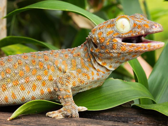 A tokay gecko, one of many reptile species popular as pets in the UK (Getty Images/iStockphoto)