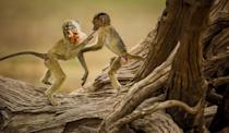 "According to NWF: In 2019, while camping in Zambia's South Luangwa National Park, Rian van Schalkwyk and his four-year-old daughter, Nina, rose early one morning to explore. They soon spotted these young yellow baboons playing on the gnarled remains of a camelthorn tree. When one found a seed pod, the other scrambled to grab it away. Van Schalkwyk loved the look of ""fascination"" on Nina's face as she watched the antics. ""They reminded us so much of human children playing,"" he says. RIAN VAN SCHALKWYK, 2020 National Wildlife® Photo Contest"