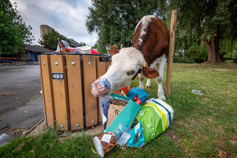 Cows can seen rummaging through bins overflowing with litter left by visitors on Super Saturday. (SWNS)
