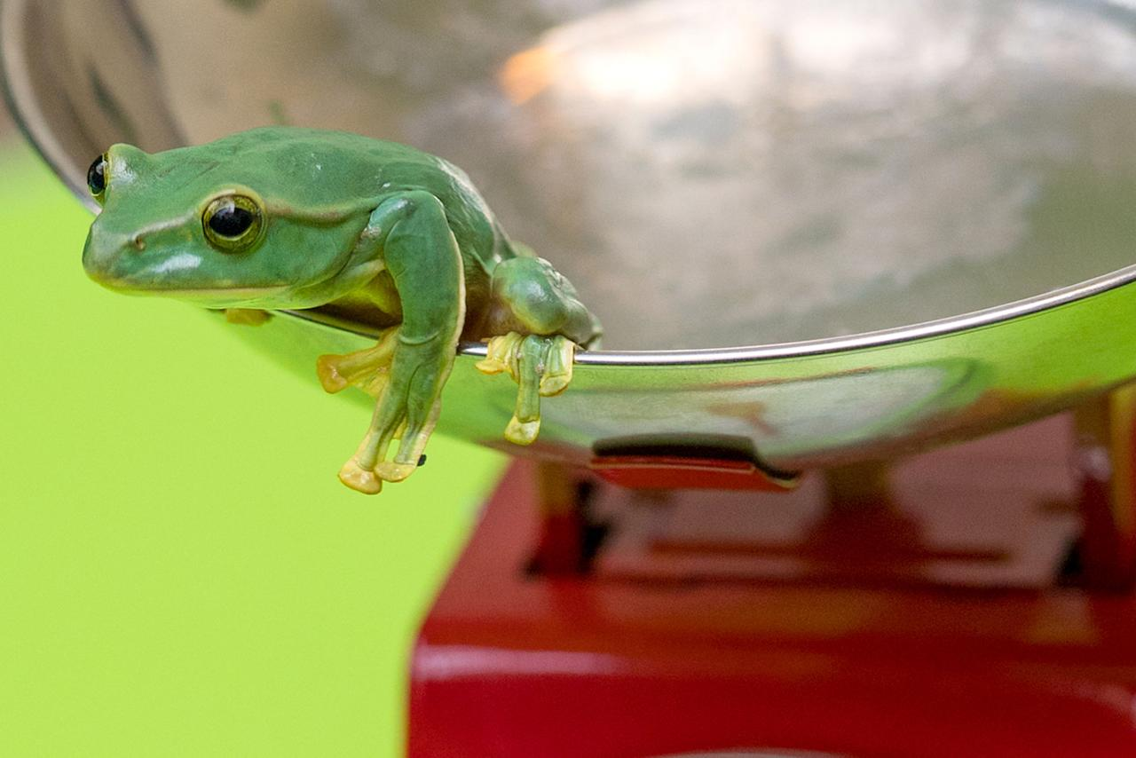 <p>This tiny frog is somehow resisting the temptation to leap from the scales… (Picture: ZSL London Zoo) </p>