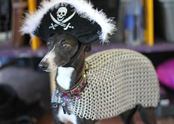 "<div class=""caption-credit"">Photo by: Laura Cross, Vetstreet</div><div class=""caption-title""></div>Arrgh, matey! It's a pirate's life for Keira Sue the <a rel=""nofollow"" target="""" href=""http://www.vetstreet.com/dogs/italian-greyhound?WT.mc_id=cc_yahoo"">Italian Greyhound</a>. The crowd cannot get enough of her. (And neither can we.)"