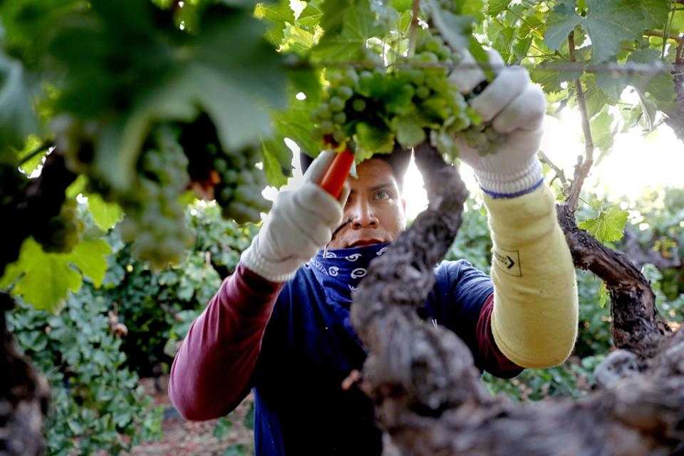 """Farmworkers pick white wine grapes grown for Massican Winery in Napa Valley. <span class=""""copyright"""">(Gary Coronado / Los Angeles Times)</span>"""
