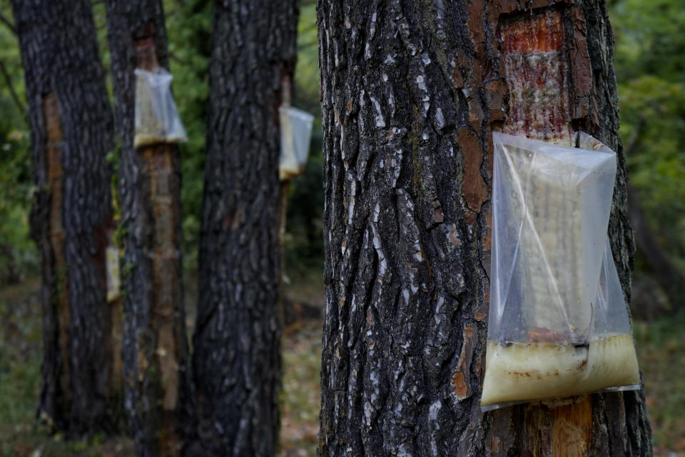 Bags on the pine trees with resin is seen in a forest on the island of Evia, about 185 kilometers (115 miles) north of Athens, Greece, Thursday, Aug. 12, 2021. Residents in the north of the Greek island of Evia have made their living from the dense pine forests surrounding their villages for generations. Tapping the pine trees for their resin has been a key source of income for hundreds of families. But hardly any forests are left after one of Greece's most destructive single wildfires in decades rampaged across northern Evia for days. (AP Photo/Petros Karadjias)
