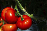 This Thursday, Jan. 14, 2021 photo provided by AppHarvest shows tomatoes being grown in their Morehead, Ky. facility. The company is one of several big players in the fast-growing indoor farming space. Experts say tech advances from the cannabis industry and lower-cost, energy efficient LED bulbs are helping fuel growth, along with increasing customer demand for sustainable food. (AppHarvest via AP)