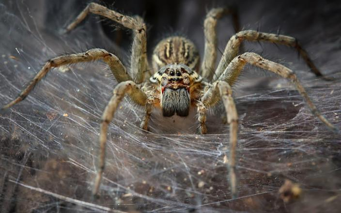 Australia has a number of poisonous spiders - Moment RF