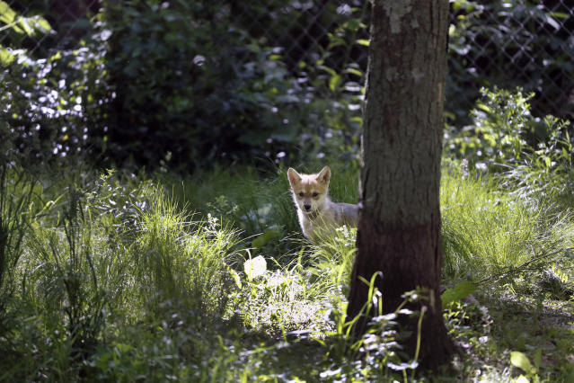 """A 7-week-old Mexican gray wolf pup explores its surroundings at the Endangered Wolf Center in Eureka, Mo., on Monday, May 20, 2019. Retired biologist Dave Parsons, who led Mexican wolf recovery efforts during the 1990s, said the government has a responsibility under the Endangered Species Act to ensure the predators have a chance to fulfill their ecological role. Otherwise, he said, the wolves risk becoming """"museum pieces in the wild."""" (AP Photo/Jeff Roberson)"""