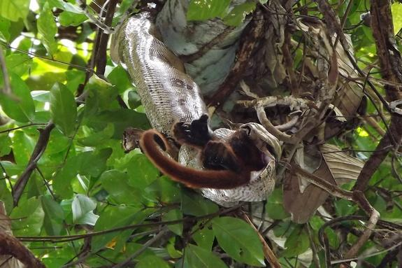 Boa Constrictor Seen Eating Howler Monkey in a First