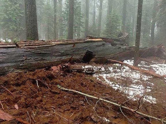 Image of the fallen tree.