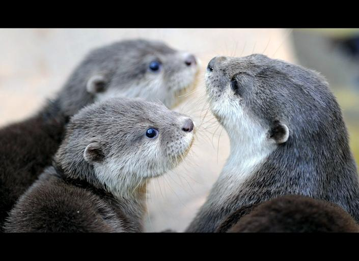 An adult Asian Small-clawed Otter, right, and two baby otters sit in their enclosure at the zoo in Heidelberg, southwestern Germany, on March 28, 2011. The animals, also known as Oriental Small-clawed Otter, are the smallest otter species in the World and are native to South-Eastern Asia.