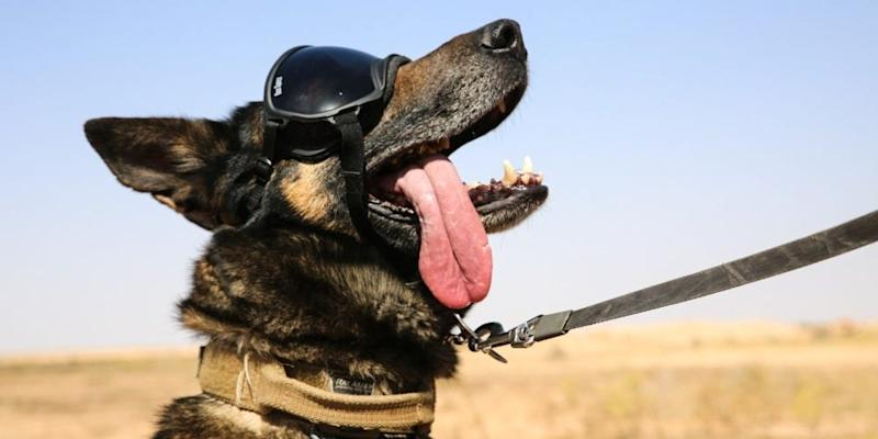 The Dude, a military working dog, awaits a CH-47 Chinook during a live-fire exercise at Al Asad Air Base, Iraq, May 18, 2020.