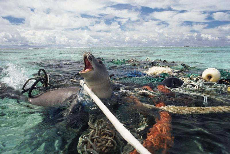A Hawaiian monk seal is caught in abandoned fishing tackle in the Pacific Ocean (Michael Pitts / naturepl.com)