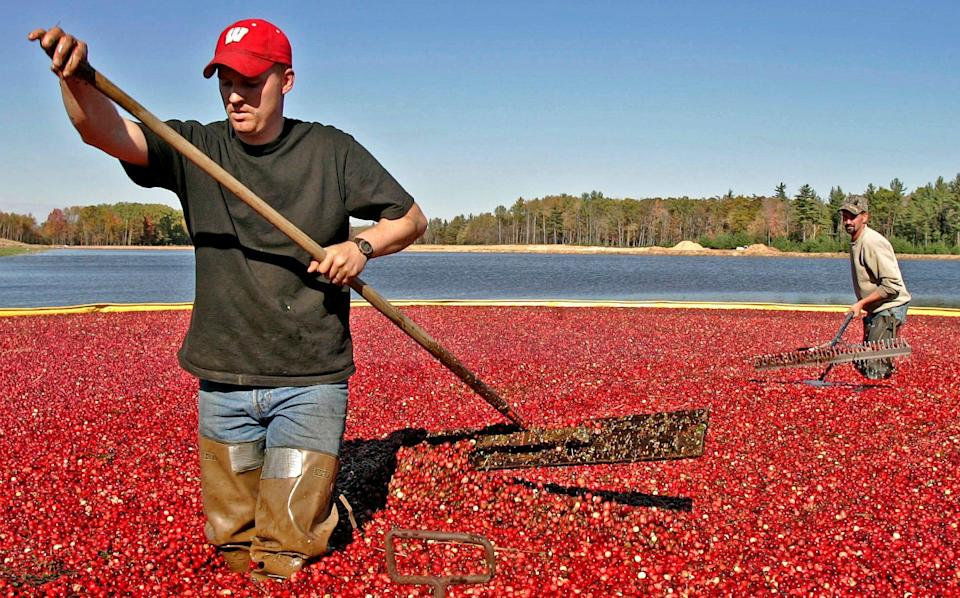 Jacob Ryan, left, and Trent Lueck use rakes to harvest cranberries in 2005 in Pittsville, Wis. Wisconsin is the nation's leading cranberry-producing state.