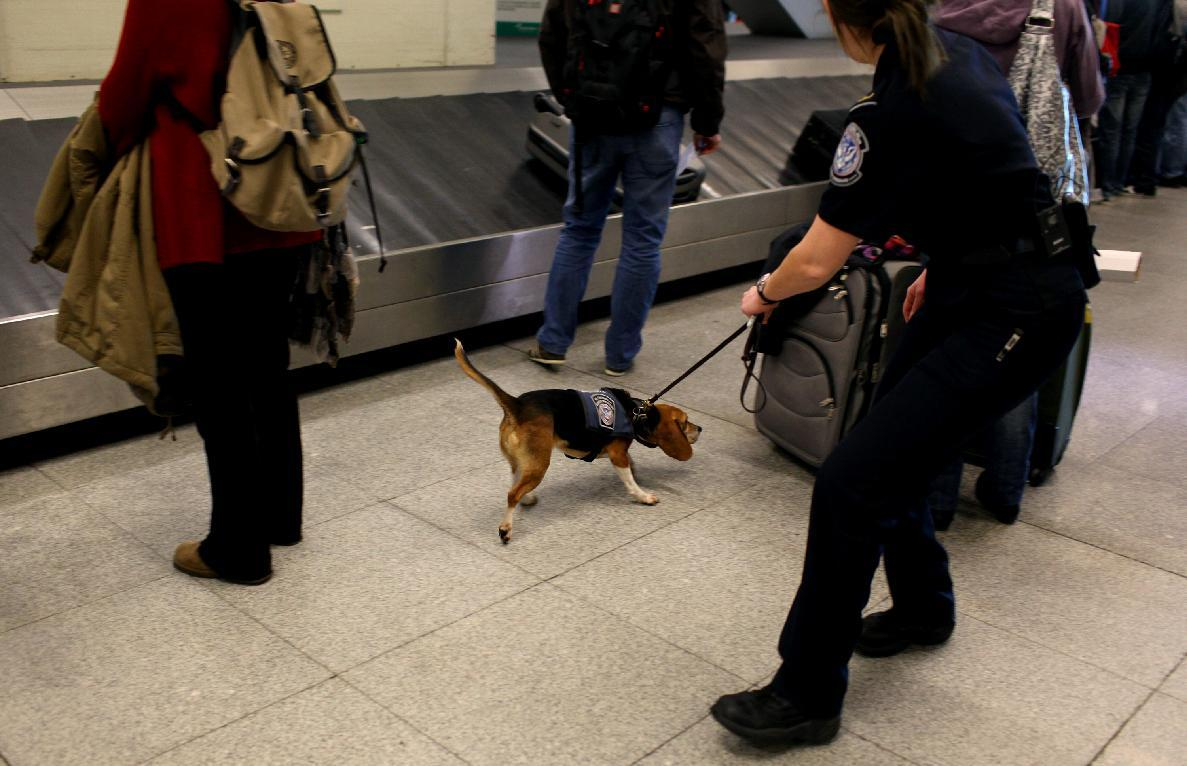 In this Feb. 9, 2012 photo, Meghan Caffery, right, a U.S. Customs and Border Protection Agriculture Specialist, works with Izzy, an agricultural detector beagle whose nose is highly sensitive to food odors, as the dog sniffs incoming baggage and passengers at John F. Kennedy Airport's Terminal 4 in New York. This U.S. Customs and Border Protection team works to find foods and plants brought in by visitors that are considered invasive species or banned products, some containing insects or larvae know to be harmful to U.S. agriculture. (AP Photo/Craig Ruttle)
