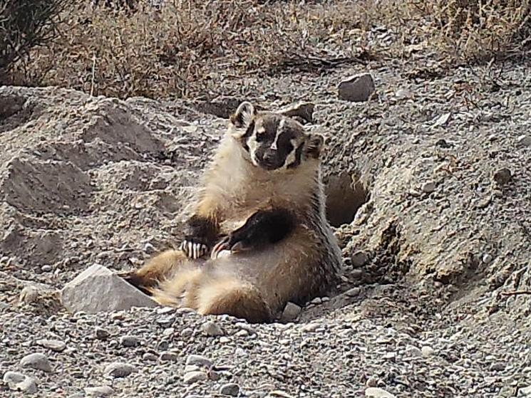 'He looks like a really, really happy badger, rolling in the dirt and living the high life' (Evan Buechley)