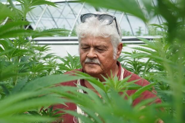 Master grower Ted Jarecsni inspects the crop growing at 7 Farms Down. The Guttridge family's Merlin, Ont., farm is expected to be harvesting cannabis plants in September. (Chris Ensing/CBC - image credit)