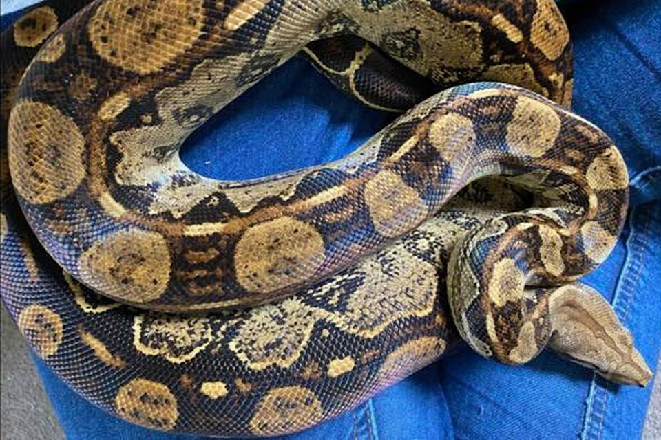 The find comes days after a large snakeskin which had been shed was discovered by someone walking in Swannington (Shannon Surch)