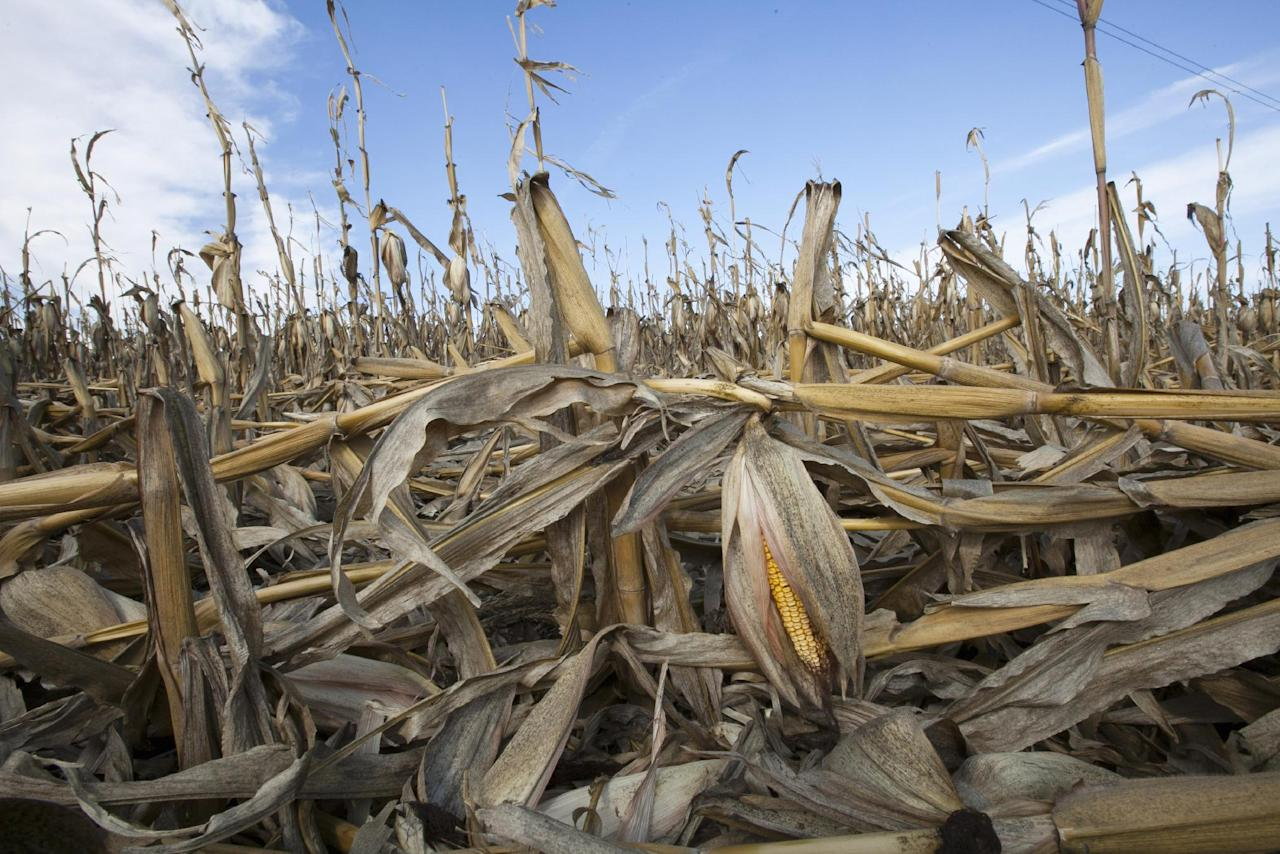 FILE - In this Sept. 19, 2012 file photo, corn plants weakened by the drought lie on the ground after being knocked over by rain in Bennington, Neb. Delegates from nearly 200 countries are meeting in the Qatari capital of Doha to discuss ways slowing climate change, including by cutting emissions of greenhouse gases that scientists say are warming the planet, melting ice caps, raising sea levels, and changing rainfall patterns with impacts on floods and droughts. (AP Photo/Nati Harnik, File)