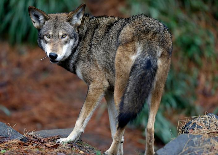 A male red wolf enjoys a feeding in its habitat at the Museum of Life and Science in Durham, N.C.