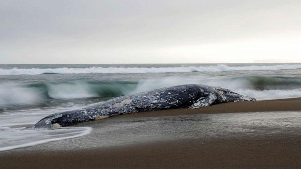 PHOTO: A dead gray whale rests on Limantour Beach at Point Reyes National Seashore in Point Reyes Station, north of San Francisco, May 23, 2019. (Stephen Lam/Reuters)