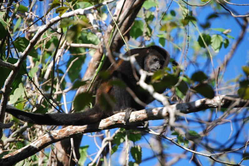 This February 2014 photo released by Kristina MacKulin shows a Howler Monkey in the tropical dry forest of Nosara, Costa Rica. Nosara is a scenic coastal region with a variety of outdoor recreation activities for visitors. (AP Photo/Kristina MacKulin)