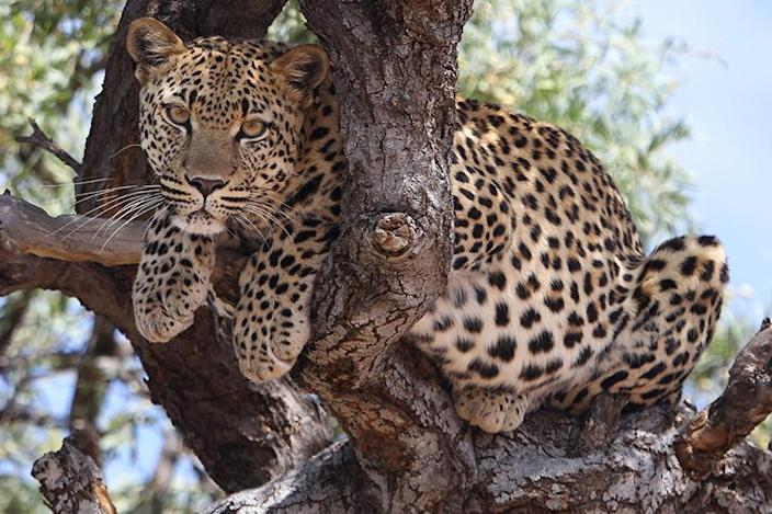 A leopard sits in a tree in the Dolomite section of Etosha National Park on Jan. 18, 2013. The roads this photo was taken is now restricted and off-limits to the public. (Photo: Gordon Donovan/Yahoo News)