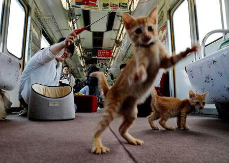 A passenger plays with cats, in a train cat cafe, held on a local train to bring awareness to the culling of stray cats, in Ogaki, Gifu Prefecture, Japan September 10, 2017. REUTERS/Kim Kyung-Hoon