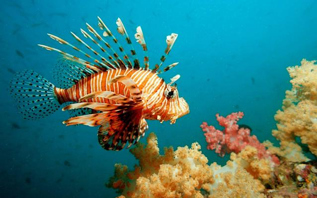 Lionfish may be beautiful but they are an aggressive invasive species in the Mediterranean and parts of the Atlantic and Caribbean - Getty Images Contributor