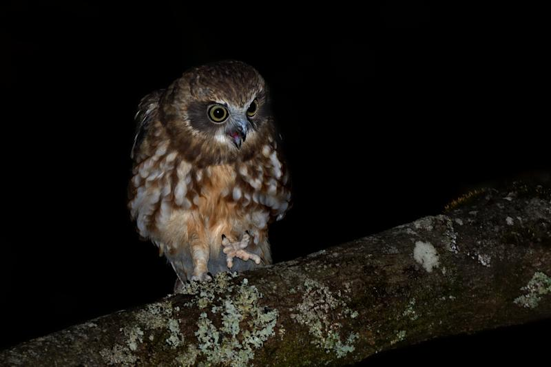 A boobook owl on a branch at night.