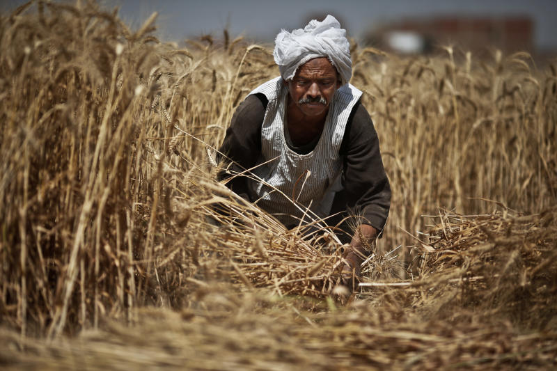 Egypt's wheat harvest becomes mired in politics