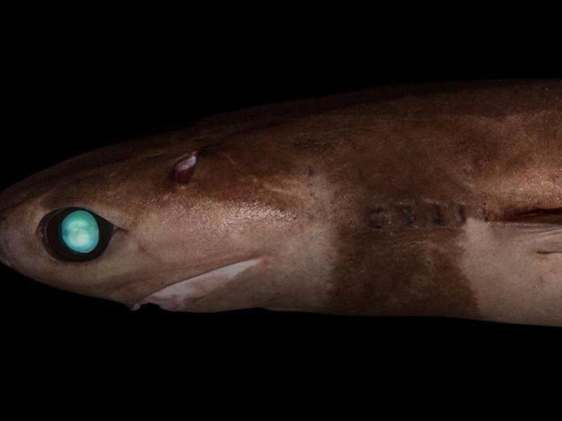 Introducing the cookie-cutter shark. Look into his eyes... Source: Maggie Georgieva/Museums Victoria/CSIRO