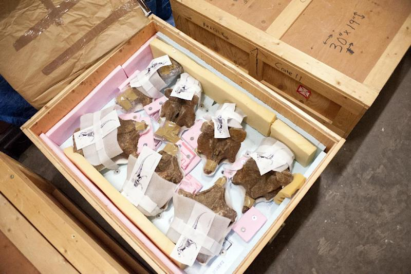 In this Tuesday, April 8, 2014 photo, released by Montana State University, fossilized bones from a Tyrannosaurus rex are packaged for transport at Montana State University's Museum of the Rockies in Bozeman, Mont. The specimen, known as the Wankel T. rex, is being prepared for shipment from Montana to Washington, where it will be on display in the Smithsonian National Museum of Natural History's new paleontology exhibit scheduled to open in 2019. (AP Photo/Montana State University, Sepp Jannotta)