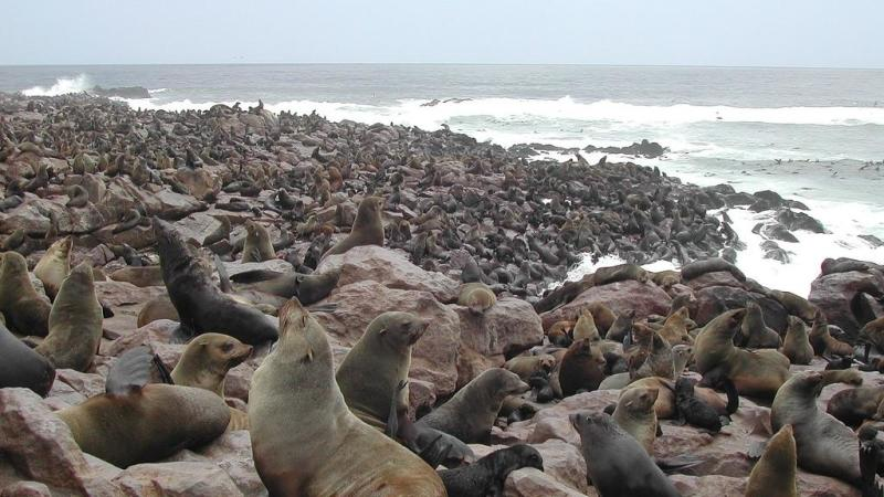 Thousands of baby seals at Namibian breeding colony die in mysterious circumstances