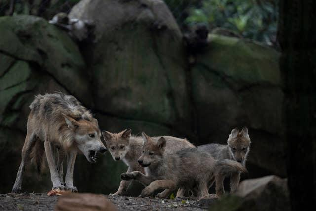 Mexico Wolves